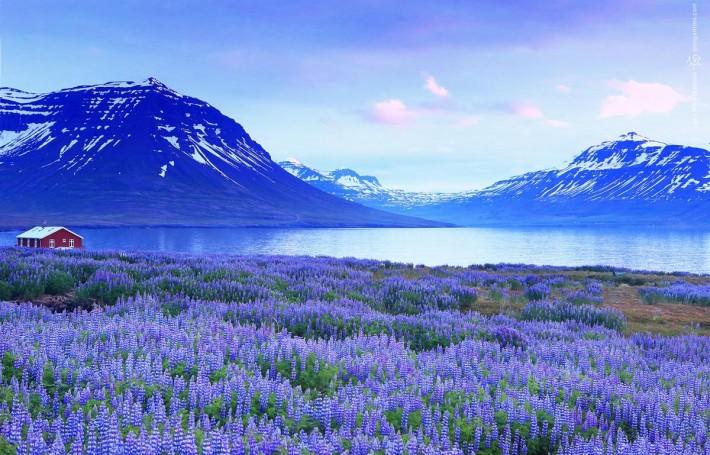поле люпинов в Исландии