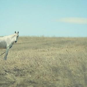 белая лошадь в поле