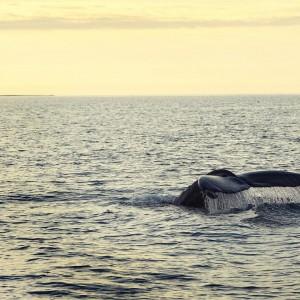Хвост кита. Хусавик. Исландия.
