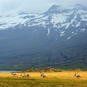 Олени бегут в Исландии 3D. Фото Люси Мараткановой