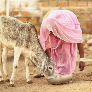 индианка кормит осла в пустыне Тар. Фото Люся Маратканова