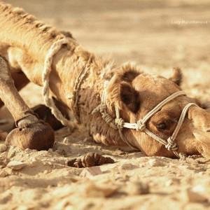 лежащий верблюд в пустыне Тар. Фото Люся Маратканова