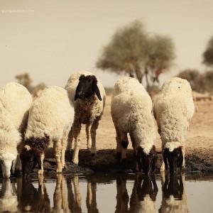 овцы пьют воду в пустыне Тар. Фото Люся Маратканова