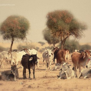 коровы пасутся в пустыне Тар. Фото Люся Маратканова