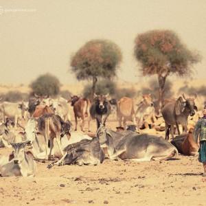 девочка и коровы в пустыне Тар. Фото Люся Маратканова