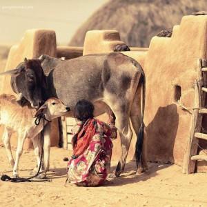 индианка доит корову в пустыне Тар. Фото Люся Маратканова