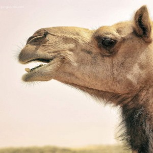 верблюд в профиль в пустыне Тар. Фото Люся Маратканова