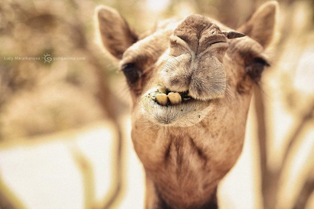 friendly camel in india in thar desert