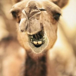 морда верблюда в пустыне Тар Индия. Фото Люся Маратканова