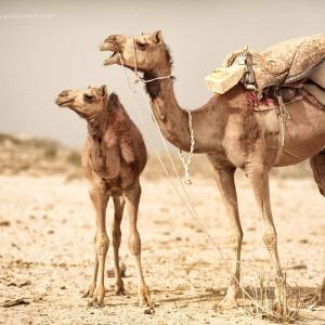 Верблюжья семья в пустыне Тар