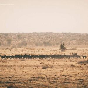 погонщик верблюдов перегоняет овец в пустыне Тар