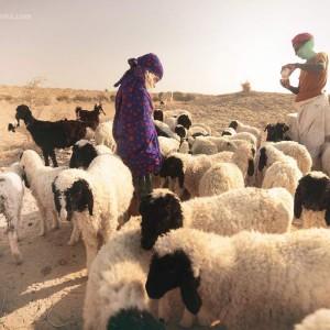 овцы в пустыне Тар
