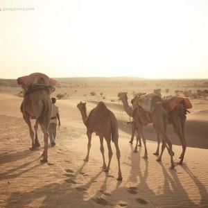 верблюды и погонщик в пустыне Тар