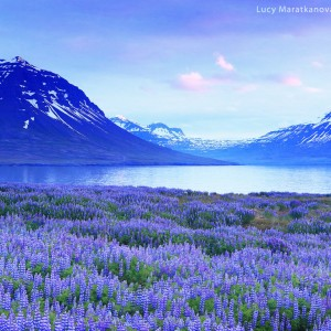 lupines in icekland near the sea and mountains