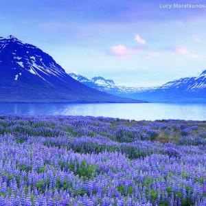 поле из люпинов в исландии и фиолетовые горы