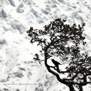 ворона на дереве на перевале триунд в индии