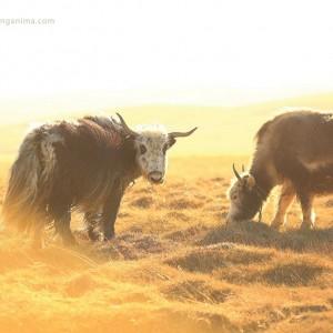 yaks on meadow in tibet
