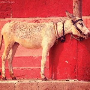 donkey in the red background