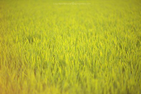 Поле зеленой травы риса. Фото Люси Мараткановой.