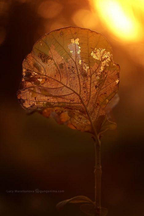 Листок с прожилками светится на солнце. Фото Люси Мараткановой.