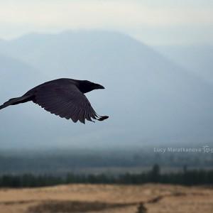 flying raven in desert in baikal in russia