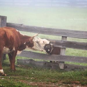 cows in village in baikal in russia