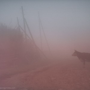корова в тумане в забайкалье в россии
