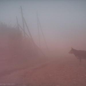 cow in the fog in baikal in russia