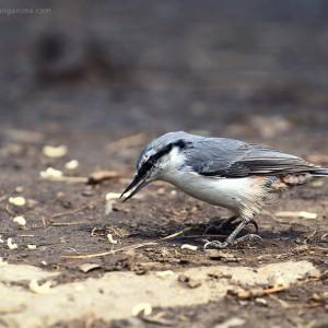 birds of baikal in russia