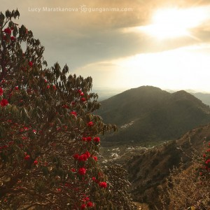 sunset in mountains and rhododendronsin india