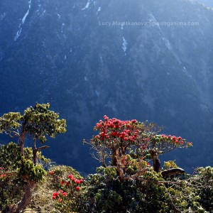 rhododendrons in mountains in india