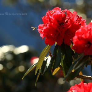 blooming red rhododendron in india