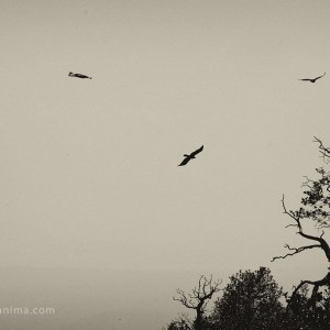 ravens flying above the trees in india