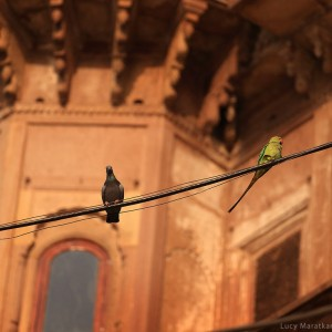 parrot between pegeons in varanasi in india