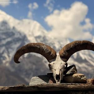 козлиный череп в непале