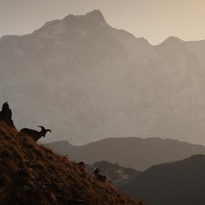 mountain goats in nepal