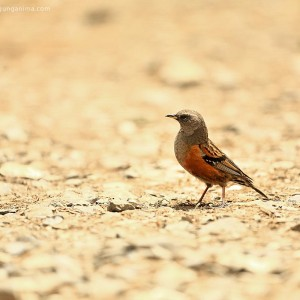 birds in nepal