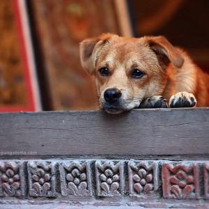 собака в непале