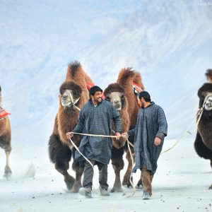погонщики верблюдов в пустыне долины нубра в индии