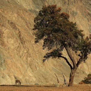 Дерево и осел на фоне гор в деревне Туртук долины реки Нубра штата Лех в Индии