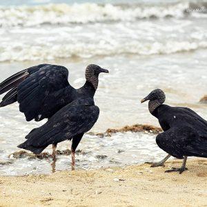 бразильские птицы уруру в парати в бразилии