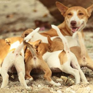 собака с щенятами на острове Нил в Андаманских островах в Индии