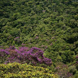деревья цветут в лесу в бразилии